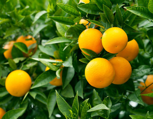 Ripe oranges hanging on a tree