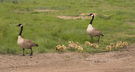 Family of two adult Canadian geese and their thirteen downy yellow goslings strolling on a pathway near a grassy field.