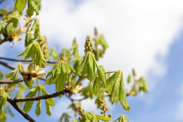 green leaves of chestnut