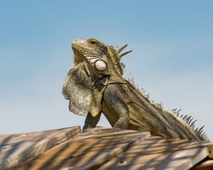 Iguana sunning on the roof in Bonaire.