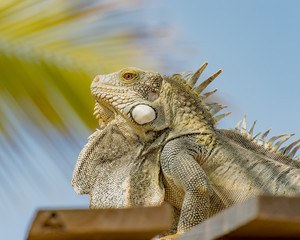 Iguana sunning on the roof in front of the palm at the beach resort in Bonaire.