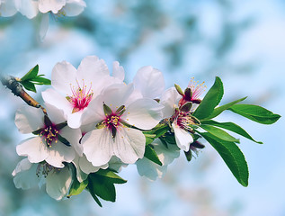 Almond branch with flowers. Many of the disclosed gentle spring flowers arranged on a branch in the garden.