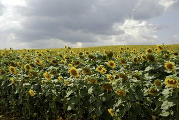 Flowering sunflower field