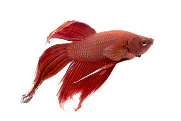 Image of a fighting fish on white background.  (Betta splendens)