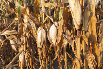 yellowed ripe corn