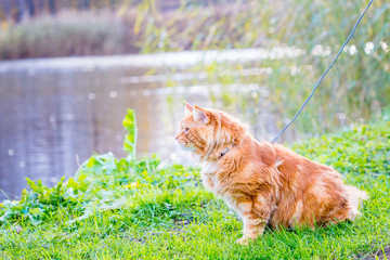 Big Gorgeous Red Maine Coon Cat sitting near the Lake and waiting for the Ducks, hunting in Natural Surroundings