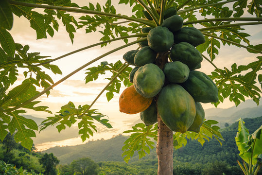 Green papayas on tree with mountain in background