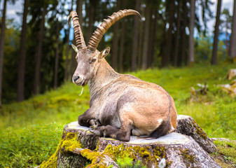 Mountain goat lying on stump