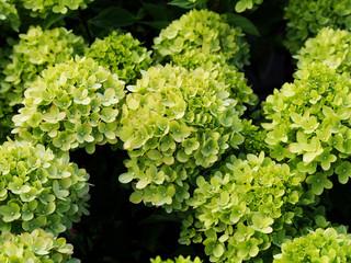 Hydrangea paniculata 'Little Lime' Jane - panicle hydrangea