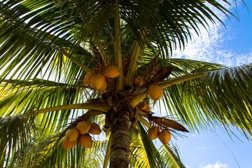 Palme mit reifen Kokosnüsse