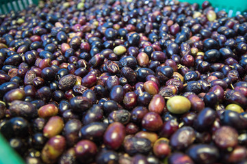The olive Olea europaea)