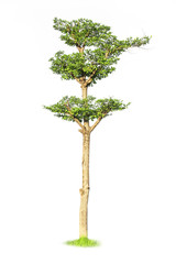 tree isolated, with clipping path. A tree planted in the garden to dig for growth.