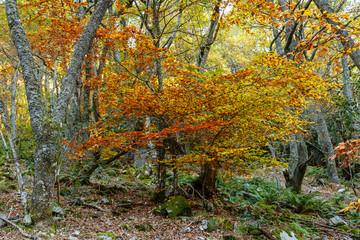 Centenary oak in the mountains of Asturias