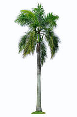 Betel palm tree isolated on white. A clipping path.