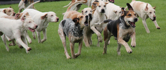 A Pack of Hunting Hounds Chasing Across a Meadow.