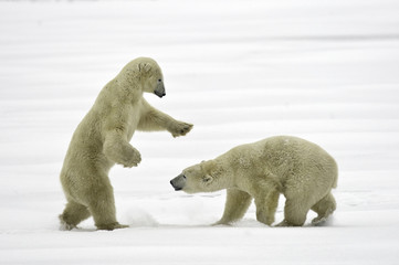 Two polar bears in snow, Hudson Bay, Canada