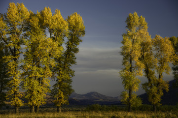 Trees in autumn, Yellowstone National Park, USA