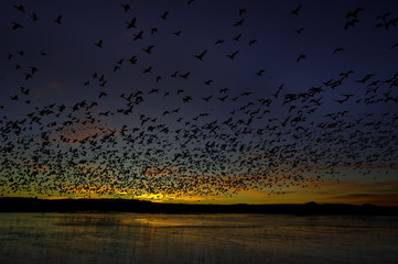 Snow geese in flight, Bosque del Apache National Wildlife Refuge, New Mexico, USA