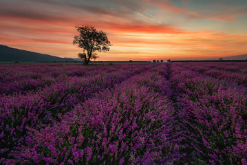 Lonely tree in lavender field at sunrise near Kazanlak town, Bulgaria