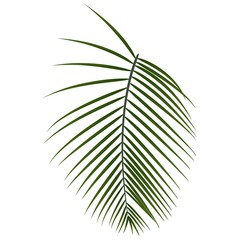 Vector tropical  palm leaf, jungle leaf  isolated on white background.