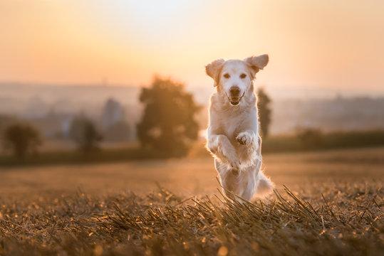 Golden Retriever im Stoppelfeld bei Sonnenaufgang