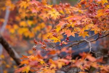 Yellow to red leaves tree of maple in autumn season, Koyasan, wakayama, Japan