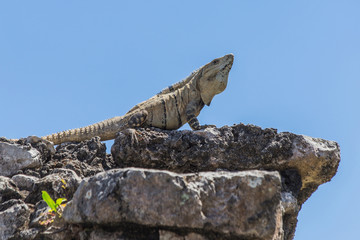 Iguana on ruins. Cancun, Tulum, Mexico