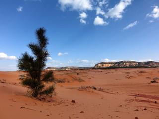 Evergreen shrub on pink sand dune park in Utah
