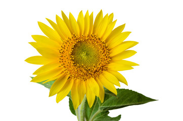 Sunflower isolated on white a background.
