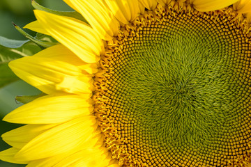 internal and petals macro of a sunflower in the sunlight
