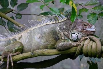 Iguana is amazing