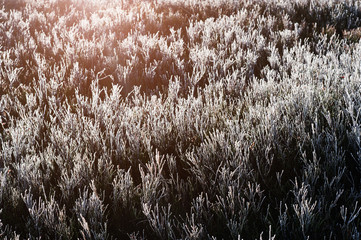 Close up of frozen pine grass of cowberries on sunlight.
