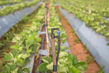 irrigation of strawberry field