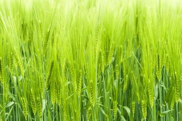 Wheats Green Background. Fresh Spring Plants.