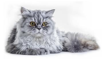 Cat Staring in Shock