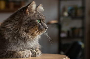 Grey long-haired cat sitting on a table