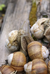The colony of snails
