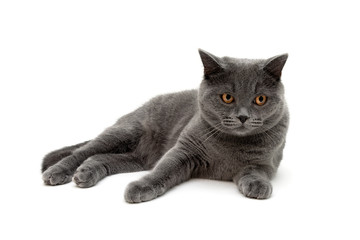 cat breed scottish-straight on a white background