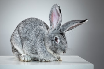 European rabbit or common