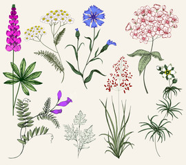 Collection of Herbs and Wild Flowers. Vintage Set. Colorful illustration in the style of engravings. Botany
