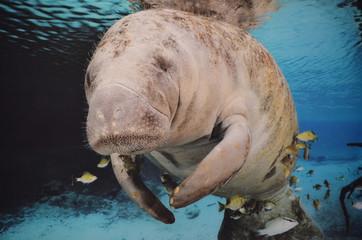 Manatee Swimming Underwater