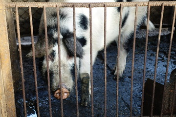 Pig in the iron cage
