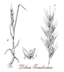 Lolium temulentum or Poison darnel is a weed very similar to wheat, but the ears are different and the grains are purple. It can easily infected by funguses and becomes toxic.