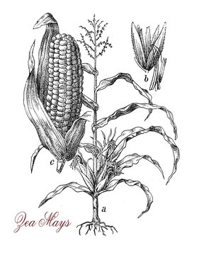 Corn or maize is a large grain plant native of Mexico, the fruits are kernels. The sweet corn variety is used as vegetable, starch and corn oil, the field corn is used for animal feed