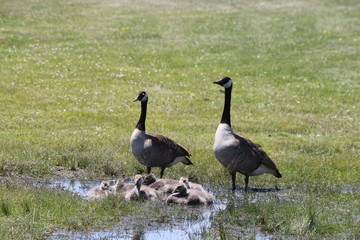 Adult Canada geese keep watch while goslings play in a large water puddle.