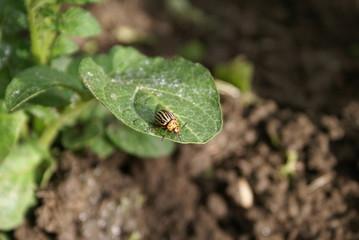 Colorado potato beetle on potato leaves