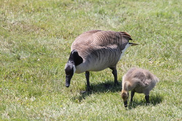 Adult and little gosling (Canada Geese) about 1 month old  in the grass and foraging for food,