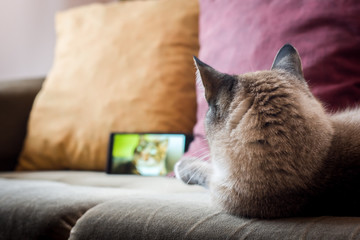 Cat watching cat on phone