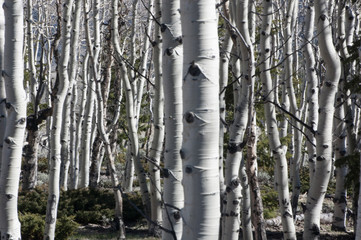 Tuinposter Army of Aspens