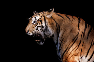 siberian tiger in action of growl